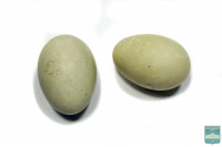 Яйца широконоски