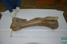 Плечевая кость мамонта (Humerus, sin  Mammuthus primigenius Blumenbach, 1799)