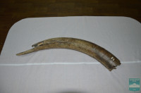 Бивень мамонта  (Incisivi Mammuthus sp.)