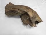 Нижняя челюсть мамонта
